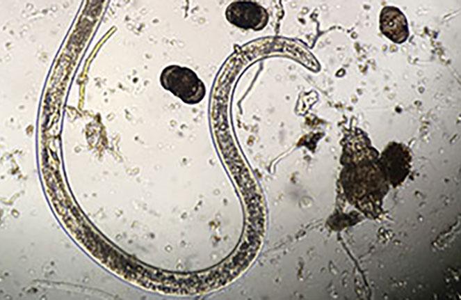 Adult female sting nematode (Photo: Bruce Martin)