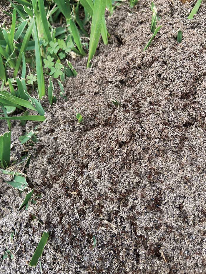 Unlike many other ant species, fire ants can be identified by the mounds they build. (Photo by: Control Solutions Inc.)