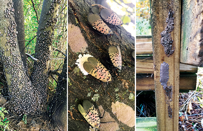 The best way to stop the spotted lanternfly's spread is to scout for egg masses, which resemble mud splatters (right). Females can lay eggs on almost any surface (center). Expect higher populations around tree of heaven (left). (photos by: Emelie Swackhamer, Penn State Extension)
